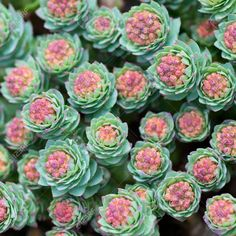 Photo Sedum Plant Stock Photo, Picture And Royalty Free Image. Image Plant Stock Photo, Picture And Royalty Free Image. Succulent Gardening, Succulent Terrarium, Planting Succulents, Succulent Plants, Cactus Flower, Flower Seeds, Flower Pots, Potted Flowers, Colorful Succulents