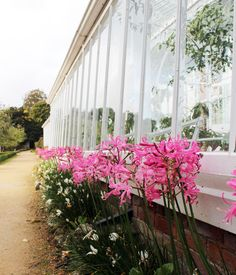 Beautiful and bold Nerine frame the Nectarine glasshouse. 🌸 Have you seen the display? Potting Sheds, Glass House, Greenhouses, Dean, Autumn, Display, Garden, Frame, Plants