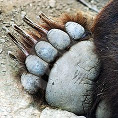 A Grizzly Bear Paw. An extreme closeup of the forepaw of a live grizzly bear , Sloth Bear, Panda Bear, Spectacled Bear, American Black Bear, Bear Attack, Funny Animals With Captions, Bear Theme, Power Animal, Bear Claws