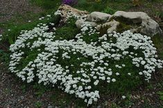 Candytuft, Iberis sempervirens - spring flowers- green rest of time. Part sun to sun. Shade Garden, Garden Plants, Perennial Garden Plans, Low Growing Shrubs, Outdoor Flowers, Garden Yard Ideas, Low Maintenance Plants, Large Flowers, Gold Flowers
