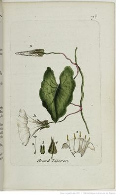 CONVOLVULUS - Convolvulus sepium. Le grand liseron / Le lison blanc / Le grand leigneux ou ligneul / La grande clochette blanche