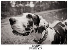 #Great #Dane #dog