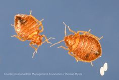 Photo of male and female bed bugs and bed bug eggs