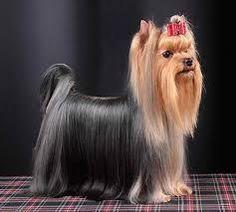 Képtalálat a következőre: yorkshire terrier hair Yorkshire Terrier Haircut, Yorkshire Terrier Puppies, Cheap Dog Food, Yorshire Terrier, High Quality Dog Food, Dog Suit, Yorky, Mini Dogs, Animals