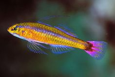 Trimma Goby