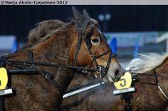 Finnhorse mare Arvan Muisto