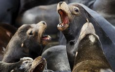 Could be a noisy couple of months for the neighbors - Sea lions lay on marina docks in Astoria, Oregon March 29, 2015. More than 2,300 California sea lions have taken over the docks of the coastal community and are expected to stay until the smelt and salmon runs they feed on are finished in late May, according to officials.