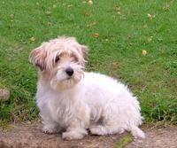 Lucas Terrier Lucas Terrier, Cute Puppies, Cute Dogs, Lakeland Terrier, Jack Russell Terrier, Mans Best Friend, I Love Dogs, Animals Beautiful, Animals And Pets