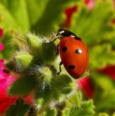 Attracting lady bugs to your garden!  26 plants to attract ladybugs to your garden- time to start prepping for next year!