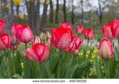Wild red tulips at a roadside in Goettingen , Germany in springtime