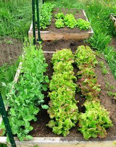 Compact vegetable garden plants in raised beds design
