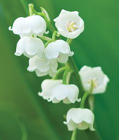 Lily of the Valley Bordeaux. Very fragrant. Great for ground cover in shady areas around the tree line. Perennial, Full Shade, Part Sun, 6-8 in. tall, 10 weeks bloom.