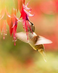 Rufus Hummingbird at Fuschia