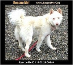 2/25/16 VICTOR― Washington Samoyed Rescue ― ADOPTIONS ―RescueMe.Org