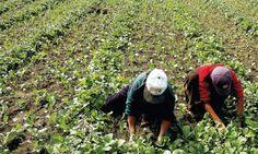 El Salvador, Cosa sta uccidendo gli agricoltori?