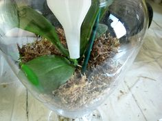 Making orchid terrariums in glass jars is a lovely way to display these beautiful plants in an easy to move and care for way. Orchid Terrarium, Terrarium Diy, Terrariums, Orchid Plants, Orchids, Boston Ferns Care, Plant In Glass, Plant Projects, Orchid Care