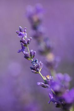 Lavender by Pierre Cornay