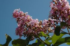 Crape Myrtle and other drought tolerant plants for the Bay Area, California.