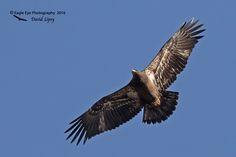 1018PS 1st Year Bald Eagle - West Newburry, MA 11-12-16