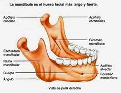 cráneo mandíbula