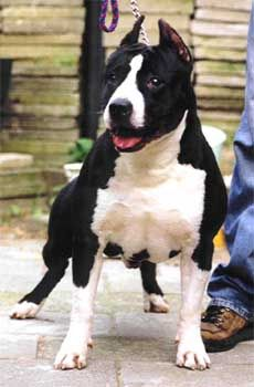 Bull Terriers, Amstaff Terrier, Pitbull Terrier, American Staffordshire Terriers, Rottweiler, Pit Bull, American Pitbull, Dog Games, Rock