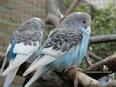 Aviarybirds - parakeets - budgies - parkieten - lovebirds - volièrevogels - birdsbreeding - budgielovers - grasparkieten - birds - vogels.