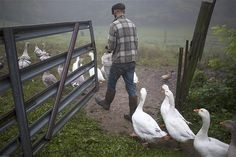 Intern and farm hand Zach Kalas is followed by a flock of pilgrim geese waiting to be fed at the Moon in the Pond farm in Sheffield, Massachusetts.
