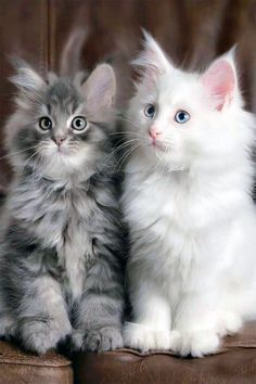 Maine Coon Kittens are so fluffy and cute it's easy to understand why they hav.Maine Coon Kittens are so fluffy and cute it's easy to understand why they have become so popular especially if they can be adopted for free. Pretty Cats, Beautiful Cats, Animals Beautiful, Beautiful Images, Cute Cats And Kittens, Kittens Cutest, Kittens Playing, Maine Coon Kittens, Ragdoll Kittens