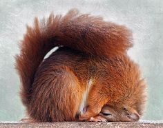 Red Squirrel. Is winter over yet?