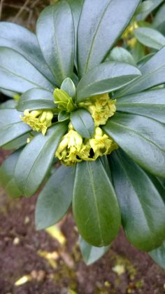 Shrub Daphne laureola - an evergreen with scented flowers followed by berries. We have found that it self seeds so watch out. Plants, Garden, Evergreen, Seeds, April Flowers, Shrubs, Flowers, Fragrant Plant, Berries