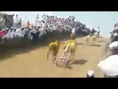 Bull racing  Kivale Ghat King