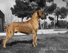 Ergio Dogo Aleman: MONOGRAFICA NACIONAL DOGO ALEMAN 2013 CEDDA