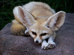 Fennec Fox 2 by ~Art-Photo on deviantART