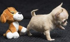perrito chiguagua recien nacidos