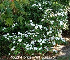 pinwheel jasmine