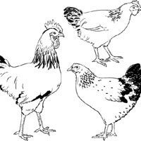 Free Rooster Pictures to Print | ... chicken and duck chicken little hen five little chicks rooster hen and