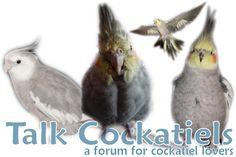 Talk Cockatiels Forums