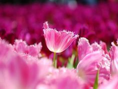 Flower is the smile of earth, love is the smile of heart http://bellofpeace.org