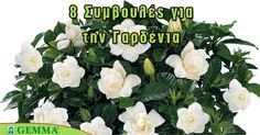 8 tips for a beautiful gardenia – Embroidery Desing Ideas Apron Pattern Free, Indoor Plants, Bloom, Home And Garden, Gardening, Green, Nature, Flowers, Tips