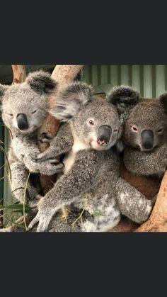 Cute Koala Bear, Koala Bears, Cute Funny Animals, Cute Cats, Australian Animals, Domestic Cat, Cute Animal Pictures, Animal Photography, Animals Beautiful