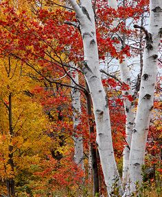 Postcards, greeting cards, photographic prints available. Birch Tree Art, White Birch Trees, Beautiful Photos Of Nature, Nature Pictures, Autumn Scenery, Autumn Trees, Aspen Trees, Deciduous Trees, Photo Tree