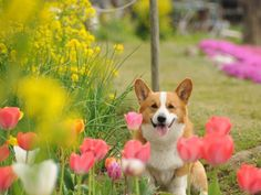 two of my favorite things: corgi's and tulips