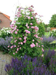 Historische Rosen 2014 - Seite 31 - Rund um die Rose - Mein schöner Garten online