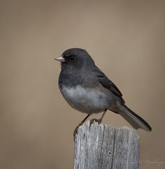 Dark-eyed Junco - saw a bunch of them today