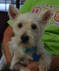 Daisy Dukes is an adoptable West Highland White Terrier Westie Dog in Bixby, OK. Meet Elote, one of 7 pure-bredWesties who came to OWR when their owner/breeder went out of business. She's only2 yea...