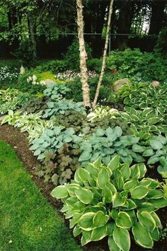 Under magnolia tree◾Hostas tolerate shade. ◾Hostas are low maintenance. ◾Hostas have a 3 season presence. ◾Hostas blend beautifully with other perennials, annuals, trees, and shrubs. Landscape Design, Garden Design, Landscape Steps, Hosta Gardens, Woodland Garden, Shade Plants, Shade Trees, Hosta Plants, Sun Perennials