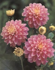 Google Image Result for http://www.buyperennials.com/media/products/thumb/dahlia_rembrandt.jpg