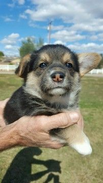 Pembroke Welsh Corgi Puppy For Sale In Ramona Ca Adn 66252 On Puppyfinder Com Gender Female Age Corgi Puppies For Sale Corgi Pembroke Welsh Corgi Puppies