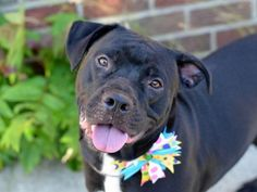 LADY – A1038124   Help us Save NYC AC&C Shelter Dogs