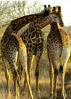 safari-children: Submitted by: balaeddin Giraffes Giraffe Pictures, Animal Pictures, African Animals, African Safari, Beautiful Creatures, Animals Beautiful, Africa Nature, Baby Animals, Cute Animals